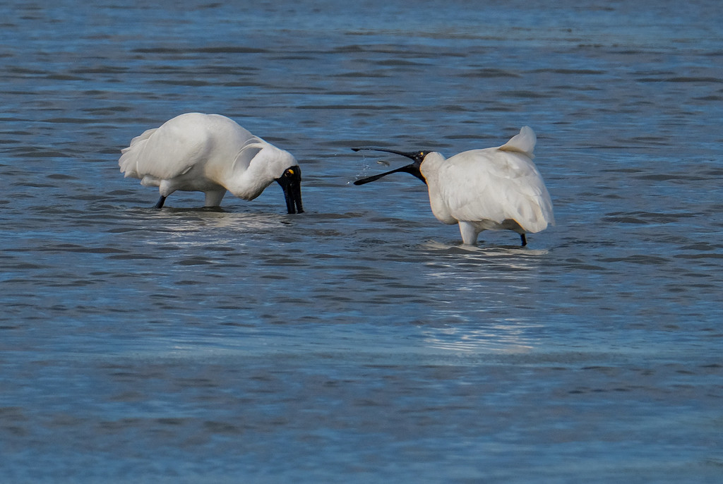 Spoonbill mid gulp - very small fish by maureenpp