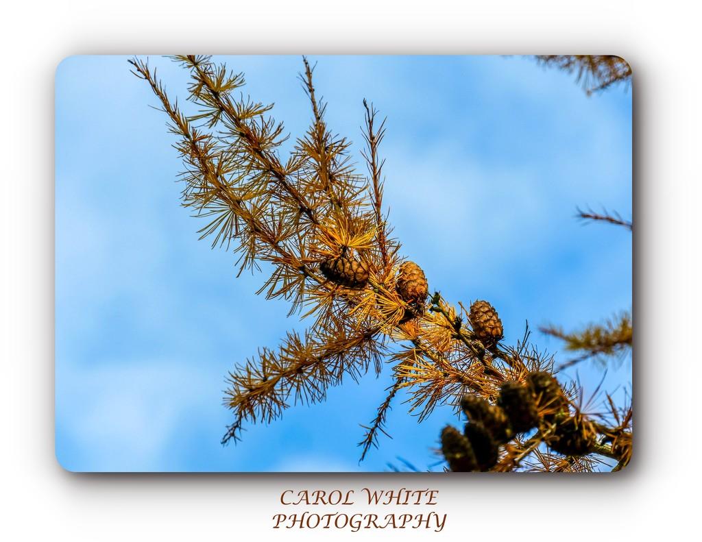 Fir Cones by carolmw