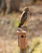 6th Dec 2019 - LHG_0549 Hawk on Bluebirdbox