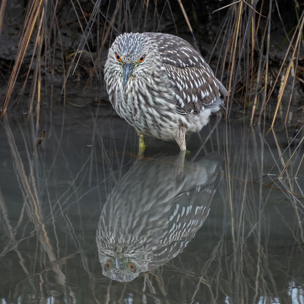 Juvenile Night Heron by mikegifford