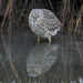 Juvenile Night Heron by mikegifford