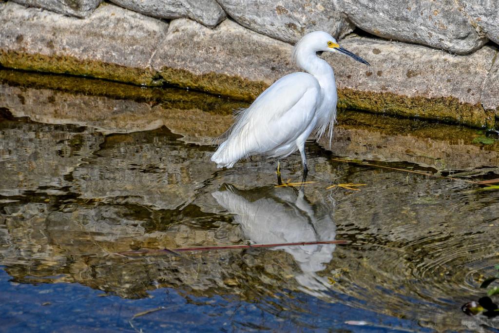 Snowy egret by danette