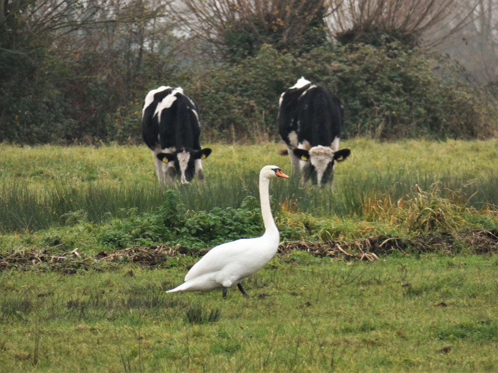 Livestock meets wildfowl by julienne1