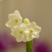 6th Dec 2019 - Flowering Narcissus