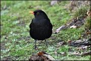 6th Dec 2019 - RK3_6792  Bobbie Blackbird