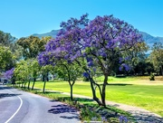 7th Dec 2019 - Jacarandas lining the road