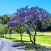 Jacarandas lining the road
