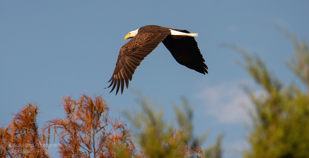 Bald Eagle on the Move! by rickster549