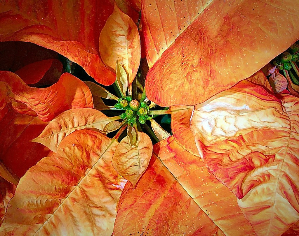 Like The Beautiful Poinsettia by gardenfolk