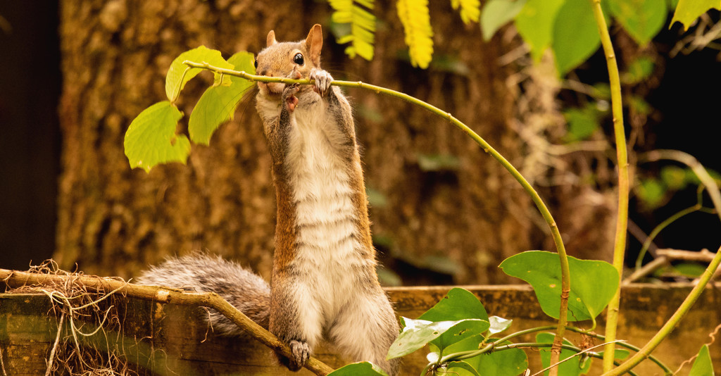 Squirrel Trying to get that Special Leaf! by rickster549