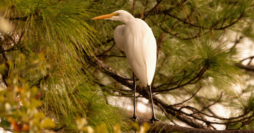 Egret Taking a Break Up in the Tree! by rickster549