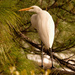 Egret Taking a Break Up in the Tree!