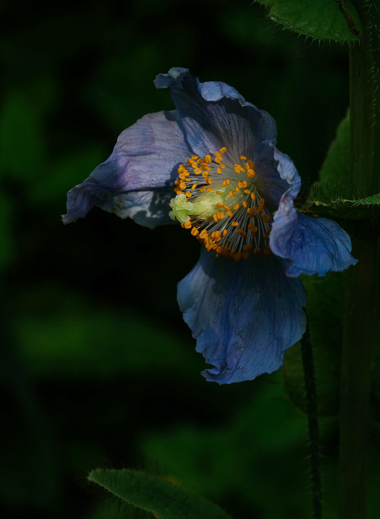 Blue Himalayan poppy by maureenpp