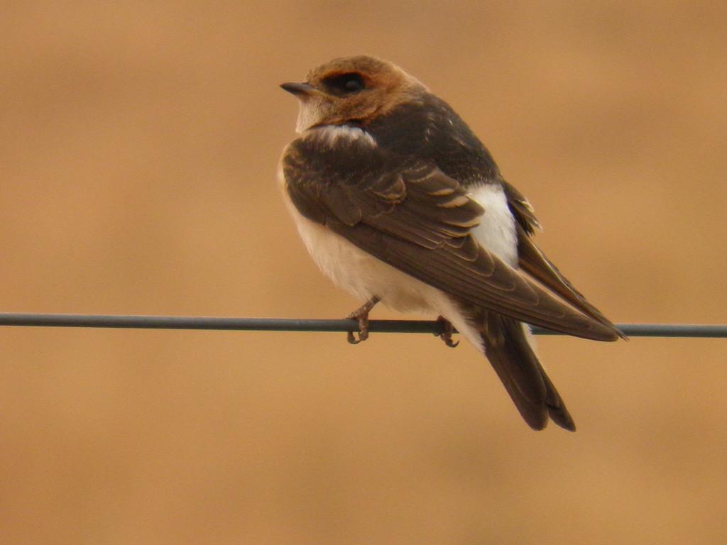 Swallow bird  by julianneovie