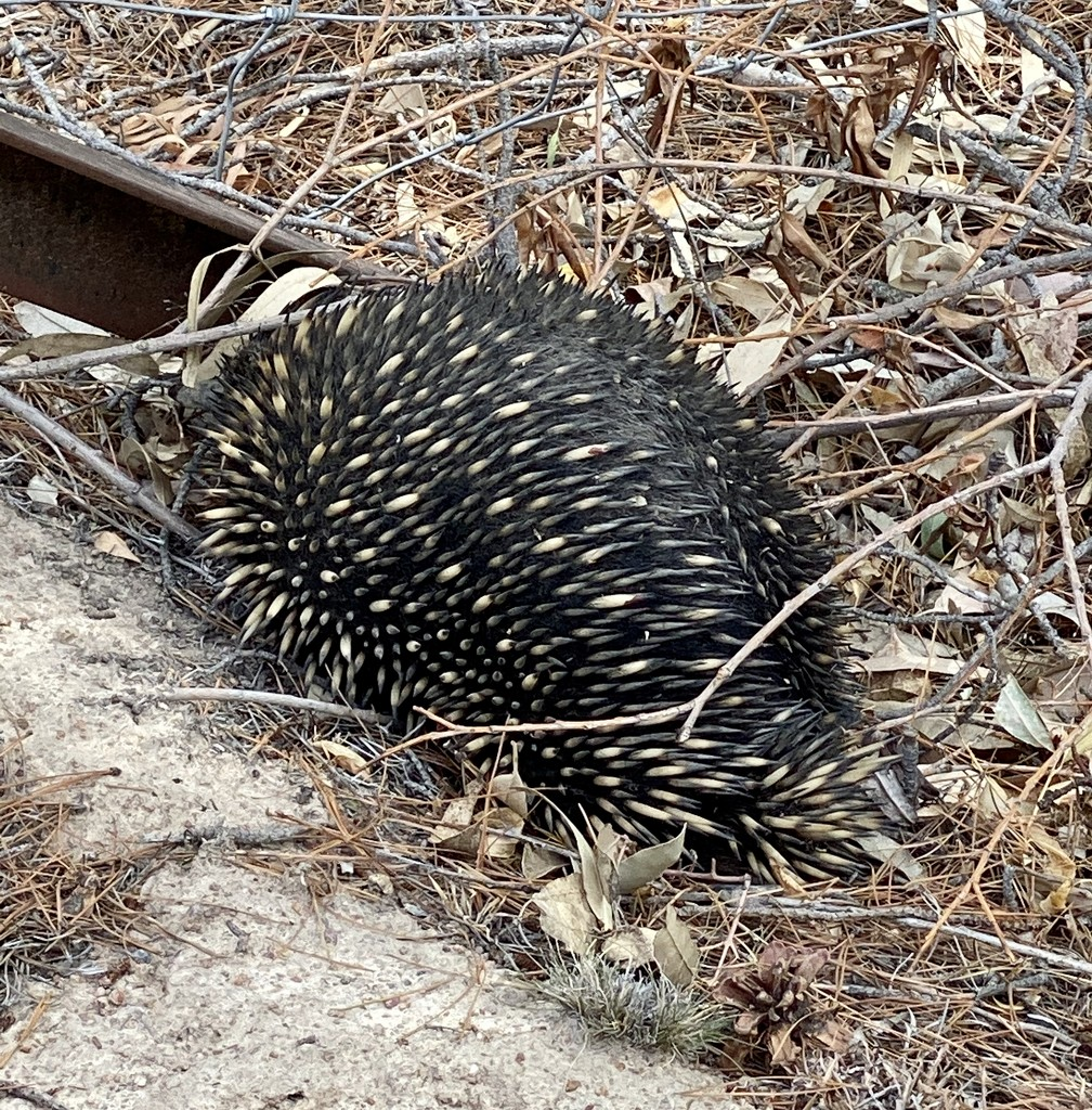 Echidna  by nicolecampbell