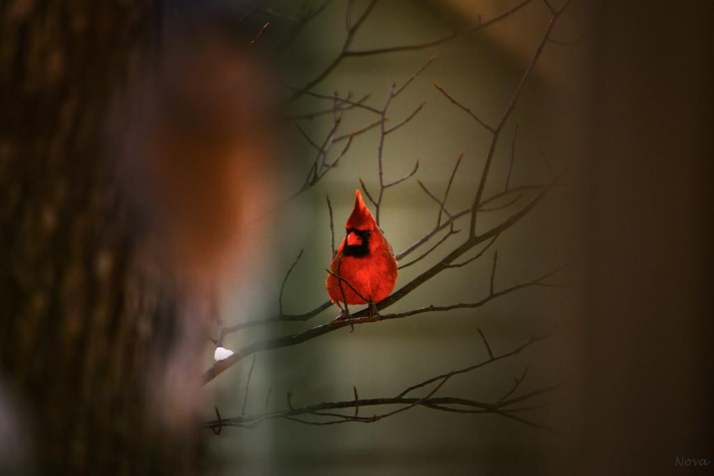 Cardinal by novab