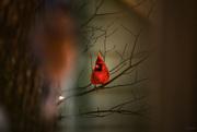 7th Dec 2019 - Cardinal
