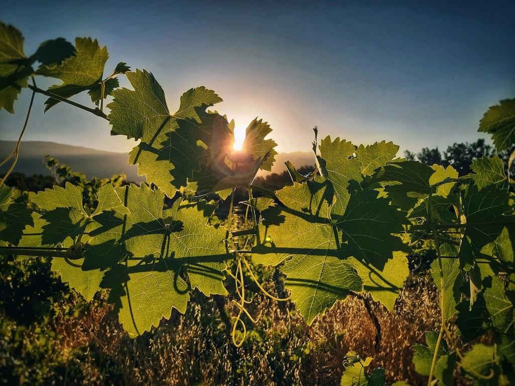 Vine at dawn by salza