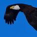 bald eagle flyby by mjalkotzy