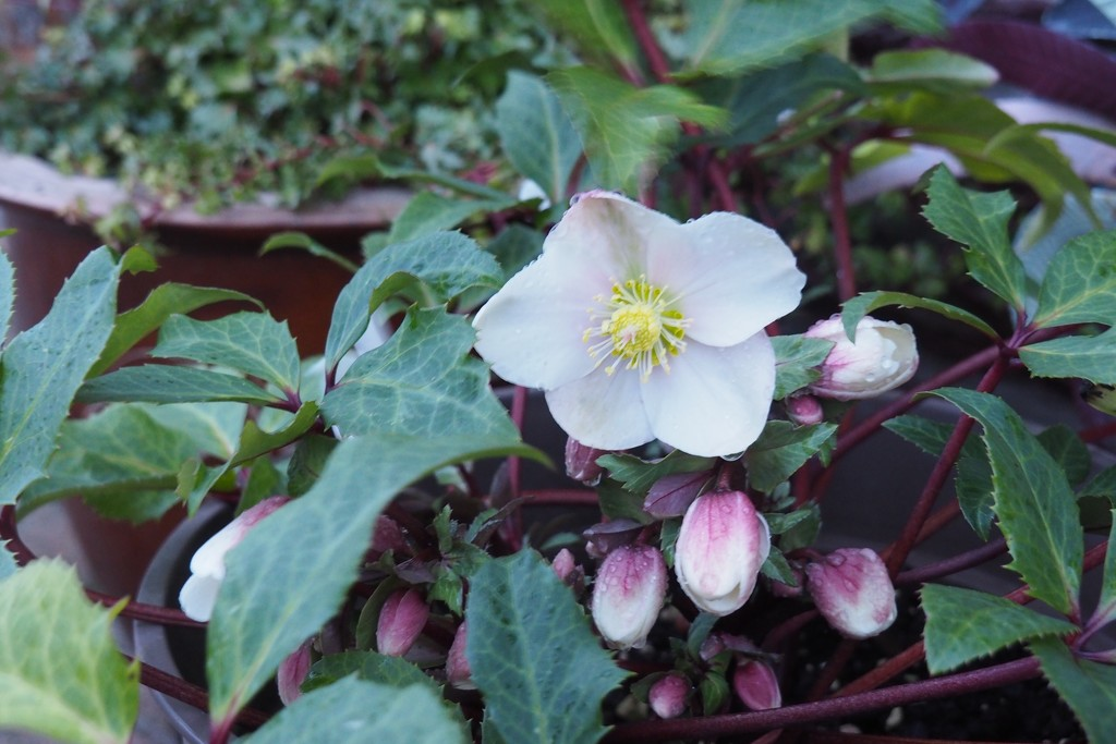 Christmas Roses, 1, in seasonal gear by s4sayer