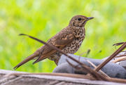 9th Dec 2019 - Brave Thrush