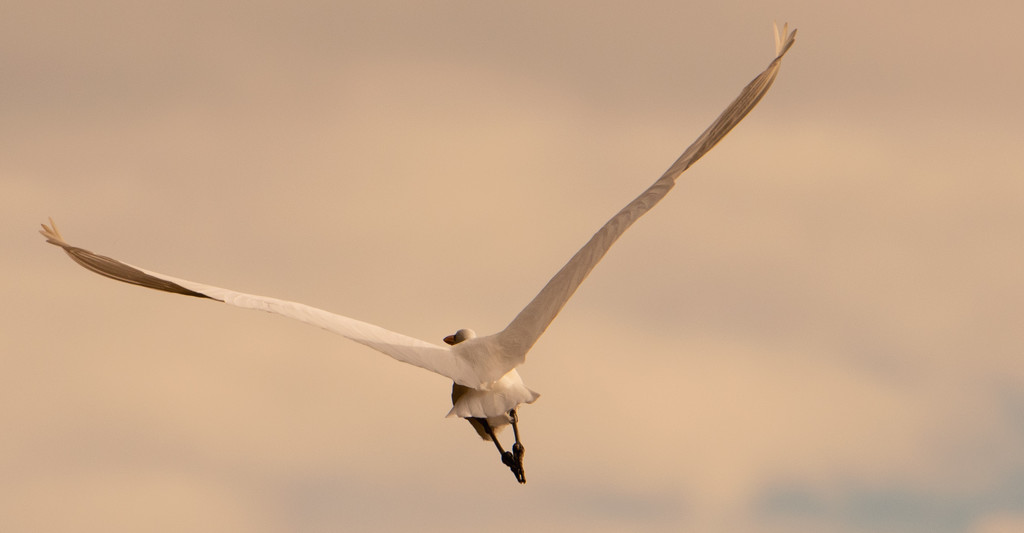 Egret Fly-Away! by rickster549