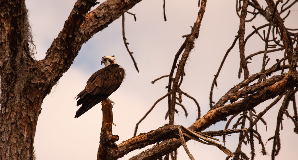 Osprey in the Dead Pine! by rickster549