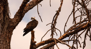 8th Dec 2019 - Osprey in the Dead Pine!