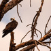 Osprey in the Dead Pine!