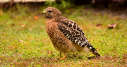 8th Dec 2019 - Red Shouldered Hawk After a Snack!