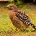 Red Shouldered Hawk After a Snack!