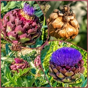 9th Dec 2019 - The different stages of Artichokes