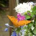 Cruiser Butterfly