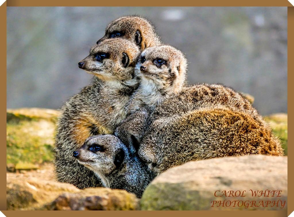 Snuggled Up Together by carolmw