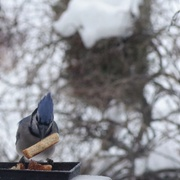 9th Dec 2019 - Blue Jay