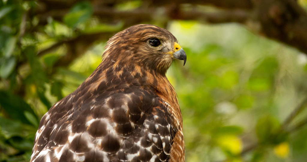 Close up of the Red Shouldered Hawk! by rickster549
