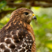 Close up of the Red Shouldered Hawk!