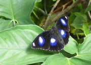 10th Dec 2019 - Varied Eggfly Butterfly