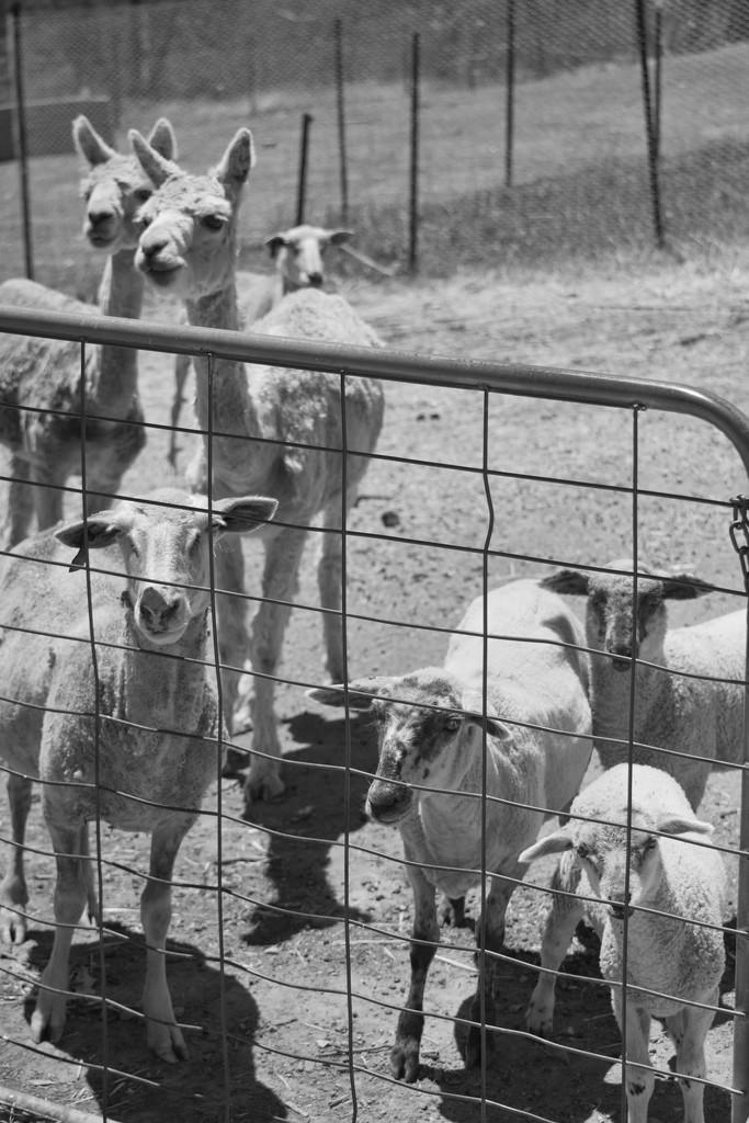 Al pac a Sheep by kgolab