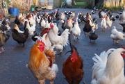 10th Dec 2019 - Poultry Party?!