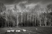 9th Dec 2019 - 5+1 sheep...