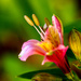 Inka lilly