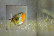 10th Dec 2019 - friendly redbreast