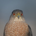 Coopers Hawk 1 by mikegifford