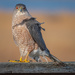 Coopers Hawk 3 by mikegifford