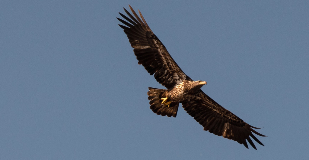 Juvenile Bald Eagle, Just Floating Around! by rickster549