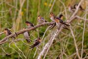 11th Dec 2019 - Swallow perch