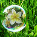 Frangipani in a Bubble