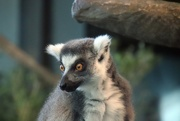 1st Dec 2019 - Ring Tailed Lemur 2