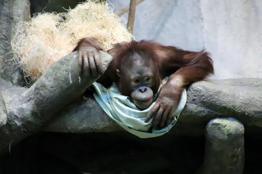 Young Orangutan by randy23